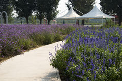 The path, flowers, awning white, lavender and lemon verbena Stock Image
