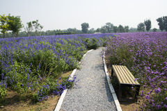The path, flowers,  lavender and lemon verbena Royalty Free Stock Image