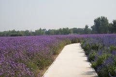 The path, flowers, lavender, lemon verbena Stock Image