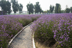 The path, flowers, Verbena Royalty Free Stock Photography