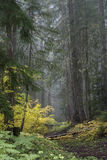 Path through the foggy forest. Path through the Willamette National Forest, Oregon through pines and autumn yellow vine maples on a foggy morning Royalty Free Stock Photography