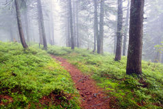 Path in foggy forest Royalty Free Stock Image