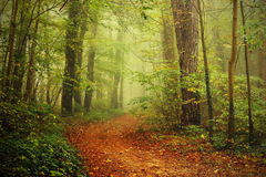 Path in a foggy forest. Rusty path from dying leaves  in the middle of a small forest inside Luxembourg Royalty Free Stock Photo