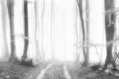 Path in the foggy and luminous forest. In black and white royalty free stock image