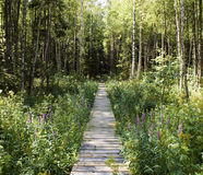 Path in the forest. A wooden path in the spring forest Royalty Free Stock Images