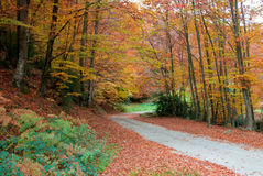 Path in the forest. Beech forest in the province of Girona, in Catalonia, Spain Stock Photos