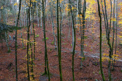 Path in the forest with autumn leaves. In a rainy day Royalty Free Stock Image
