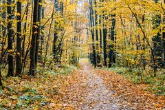 Path in a forest with colorful autumn leaves. And trees royalty free stock images