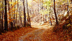 Path through forest, copper colored tree, falling leaves, sound stock video footage