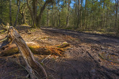 Path through a forest at fall. Path through a forest in autumn Royalty Free Stock Images