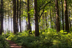 Path in the forest with gigantic trees in sunlight Royalty Free Stock Photos