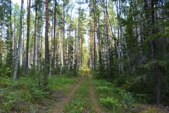 Path forest glade blueberry cranberry road trees freshness Royalty Free Stock Photography