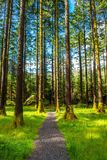 Path through Forest with High Trees Royalty Free Stock Photography