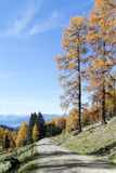Path into forest of Larch trees. Path into forest of mainly Larch trees dressed in gold Autumn colors with a touch of ground frost enlivening the scene, blue sky Stock Photography