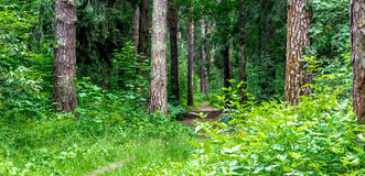Path in the forest. A forest with pine and fir trees Royalty Free Stock Photography