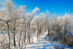 The path in forest with rime in winter blue sky Royalty Free Stock Images
