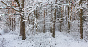 Path in forest snowfall after Royalty Free Stock Image