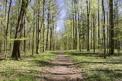 Path in forest in spring Royalty Free Stock Photo