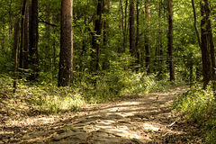 Path in the forest. A stone sunny path in the forest in the mountain surrounded by many green trees and bush Royalty Free Stock Photography