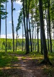 Path through forest with tall trees Stock Photo