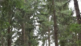 Path in the Forest. Tilt shot of high fir trees trunks finishes with a narrow road, in the conifers forest stock footage