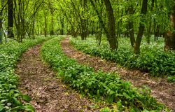 Path through the forest with wild garlic Royalty Free Stock Photography