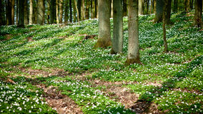 Path in forest with windflower royalty free stock photos