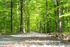 Path in forrest in spring time with green leafs from low angel Stock Photography