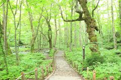 Path of fresh green trees Royalty Free Stock Image