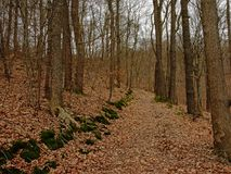 Path full of dried brown leafs in winter deciduous forest in Belgian Ardennes. Liege, Belgium royalty free stock images