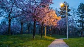 Cherry Blossom Garden Stock Photos