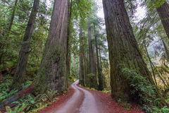 Path Through Giant Coastal Redwoods Stock Image
