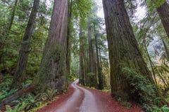 Path Through Giant Coastal Redwoods. Giant Coastal Redwoods at Jediah Smith State Park in California stock image