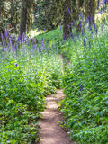 Path through giant lupines in bloom Stock Photos
