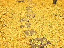 Path through the ginko leaves carpet Royalty Free Stock Photos