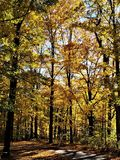 Path of Gold. A quiet path meanders through a grove of Vermont yellow leaf maple trees.  The path is shaded by golden foliage on a warm autumn afternoon Royalty Free Stock Images