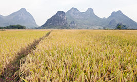 A path through golden fields Royalty Free Stock Photography