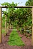 Path in Grape Arbor. A grassy path through grape vine arbor Stock Image