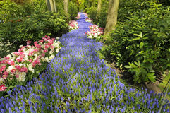 Path of grape hyacinth. And tulips Stock Photography