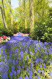Path of grape hyacinth. And tulips. Spring landscape.. Spring landscape Royalty Free Stock Photo