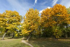 Yellowed maple trees in autumn. A path on the grass through the park in the autumn season, the foliage on the deciduous trees changes color and soon falls, the royalty free stock photography