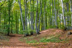 Path in green beech forest. Smooth gray trunks of beech trees royalty free stock photos
