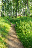 Path in the green birchwood Stock Image