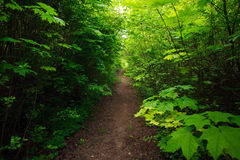Path in green deciduous forest, nature background Royalty Free Stock Photos