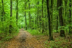 Path through a green deciduous forest. Okszow, Poland royalty free stock images