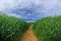 Path Through Green Field Royalty Free Stock Photo