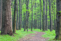Path in the green forest Royalty Free Stock Image