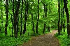 Path in the green forest. Path in the beautiful green forest Stock Photo