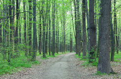 Path in the green forest Stock Image
