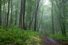 The path in a green forest in foggy weather Royalty Free Stock Photo